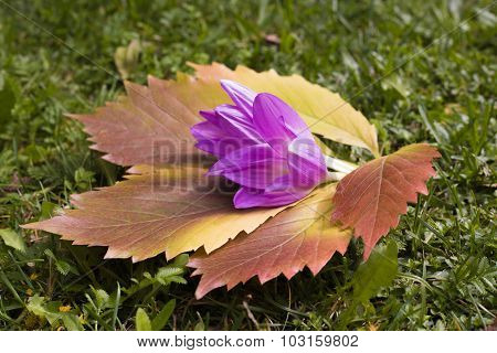 Red-yellow Leaf Of Grapes And Autumn Crocus On The Green  Grass Lit With The Sun, In The Early Fall