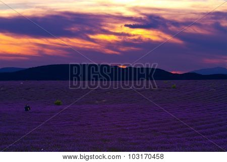 Beautiful  Lavender Field Summer Sunset Landscape