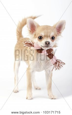 Chihuahua dog with striped knited scarf
