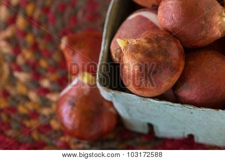 Tulip bulbs in a rustic box.