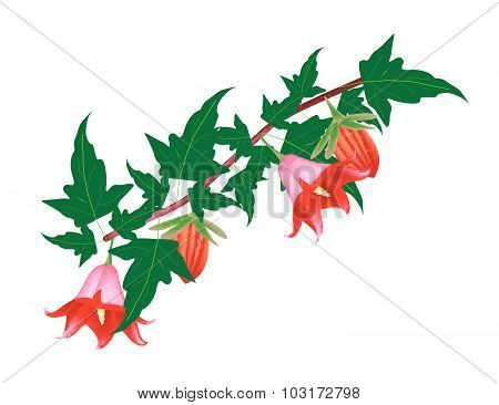 Branch Of Canarina Canariensis Flower On White Background