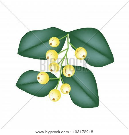 Bunch Of Aglaia Odorata Flower On White Background