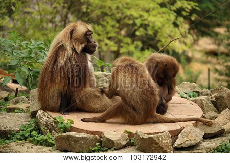 Family Of Gelada Monkeys Sitting Od A Rock