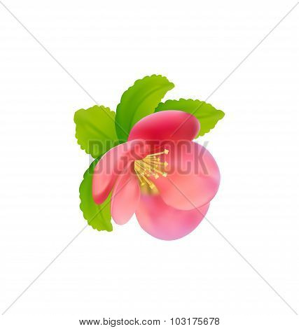 Flower of Japanese Quince Chaenomeles japonica isolated on whi