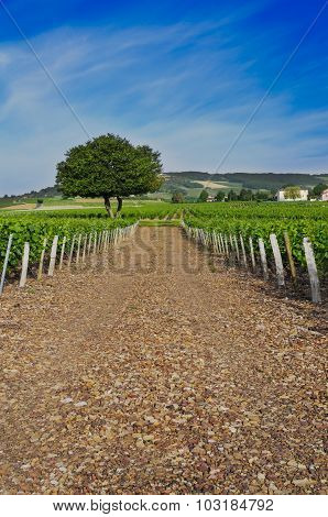Vineyards Of Frontenas, Beaujolais, Rhone, France