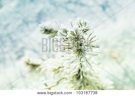 Small Pine With Hoarfrost In Winter Forest.