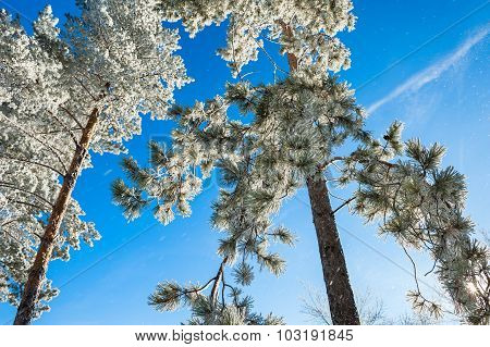 Pine Trees In Hoarfrost Against The Blue Sky.