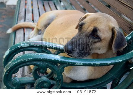 Thai Dog (It is sleeping on chair )