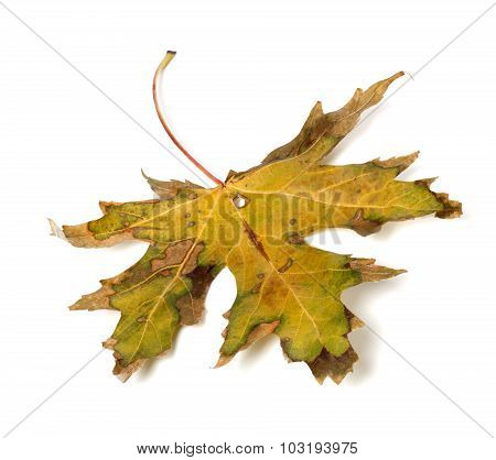 Autumn Dry Leaf On White Background