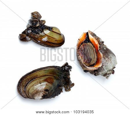 Two River Mussels (anodonta) And Veined Rapa Whelk