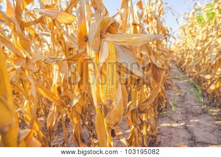 Corn On Stalk In Maize Field