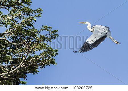Grey Heron In Tissa Wewa, Sri Lanka