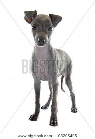 Puppy Italian Greyhound