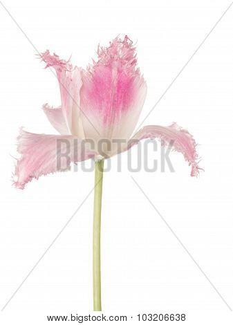 Rare Pink Tulips