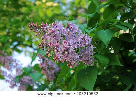 Gentle Sprig Of Lilac