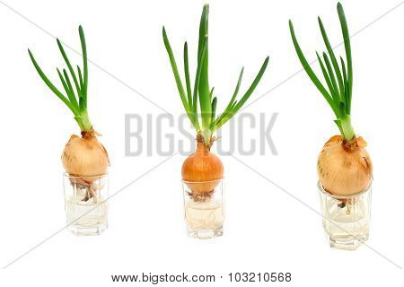 Collage Of Three Photos Sprouted Onions
