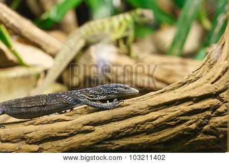 Lizard - Varanus Macraei