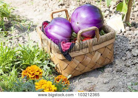 Big Eggplant In Basket On Garden