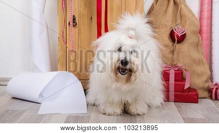 Funny dog at christmas. Purebred Coton de Tulear with wrapping paper for gifts on xmas.