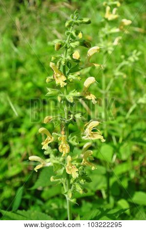 Sticky Sage (salvia Glutinosa)