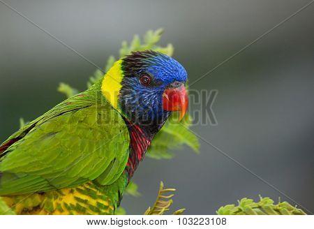 Portrait Of Rainbow Lorikeet (trichoglossus Moluccanus).horizontal.