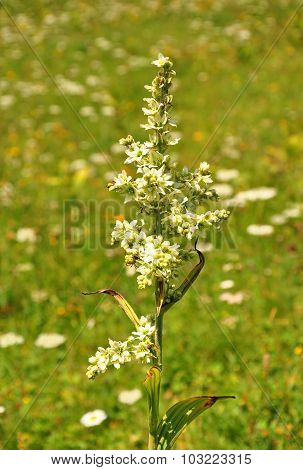 White False Helleborine (veratrum Album)