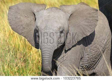 A young elephant calf