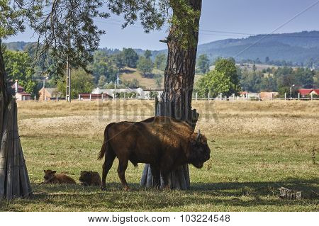 European Bison Bull And Calves