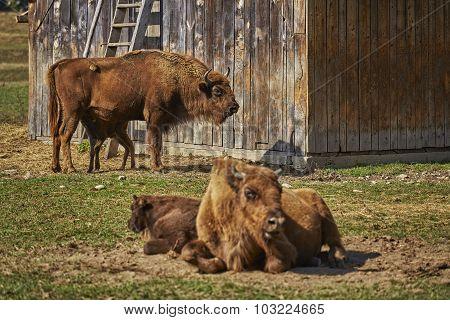 European Bison Females And Calves