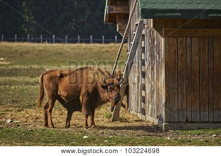 European Bison Female And Calf Suckling