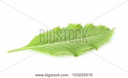 Fresh Horseradish Leaf.