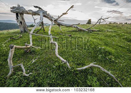 Dry Broken Tree On The Hillside.