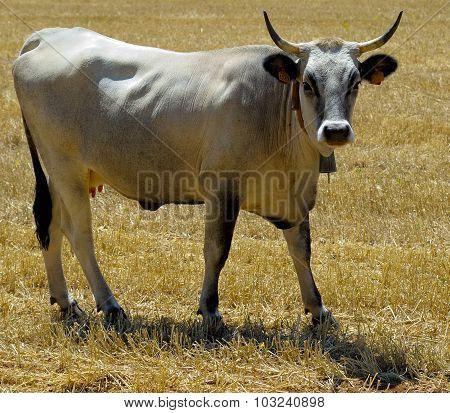 beautiful specimen of podolica cow