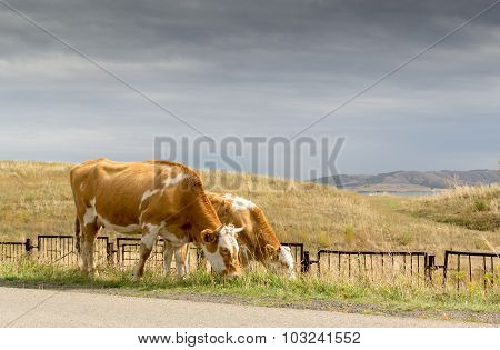 Cows Grazing Under Stormy Sky
