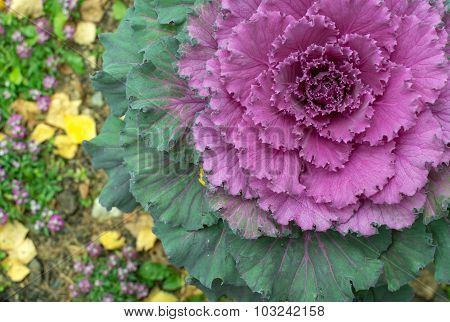 Pink Ornamental Cabbage Plant