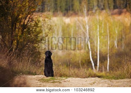 Wet Retriever Sitting On The Background Of The Autumn Trees