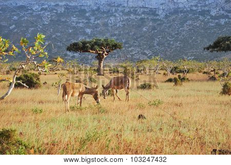 Donkeys On The Socotra Island