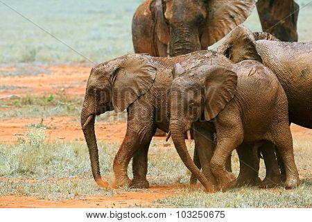 Elephants Tsavo East