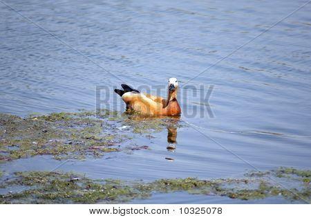 One Roody Shelduck On Water
