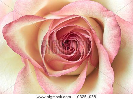Close up shot of pink rose