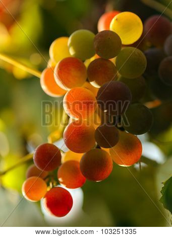 Red grapes in sunset lights. Shallow DOF