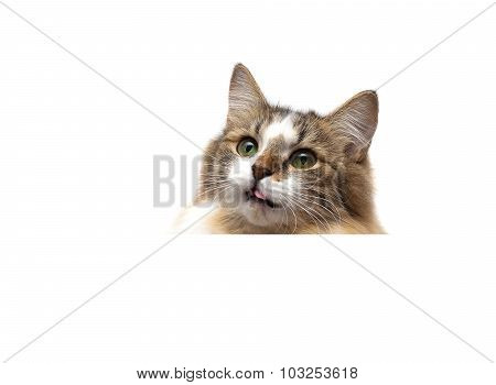 Cat On A White Background Sits Behind A White Banner