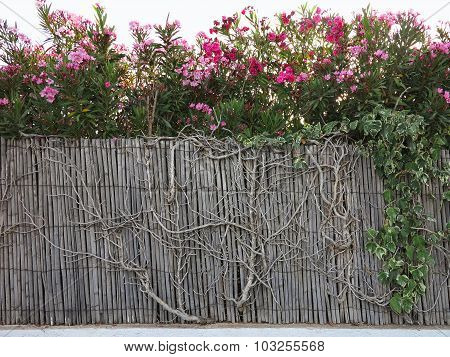 Old Vintage Wooden Overgrown Fence With Red Flowers