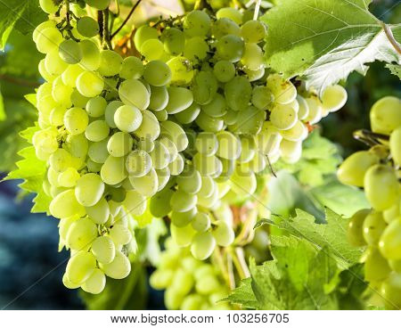 Ripe Kish-mish grapes on the vine. Green sunny leaves on the background.