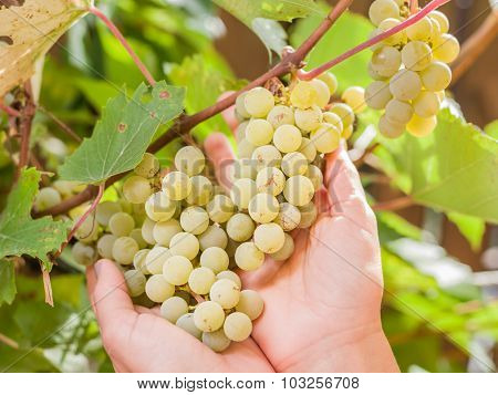 Bunch of white grapes on vine. Bunches are upheld with woman's hands.