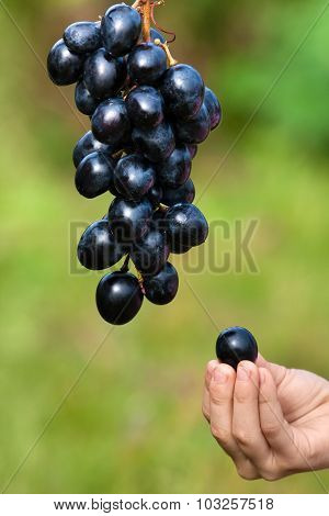 Hand Of Child With Grape