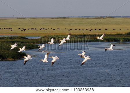 Pastoral Aerial View With Flying White Pelicans Above Lake