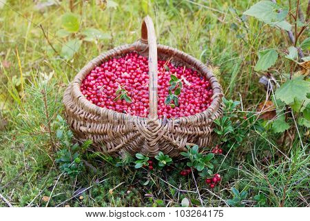 Lingonberry In A Basket On A Forest Clearing