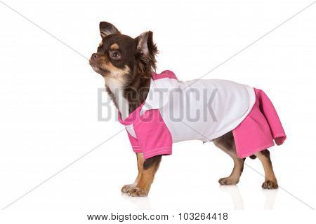 adorable chihuahua dog dressed in clothes
