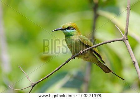 Little Green Bee-eater In The Garden At Goa Beach, India